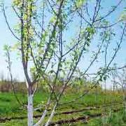 Обрезка деревьев весной: как правильно?