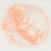 Календарь беременности: изображение плода на 14 неделе развития