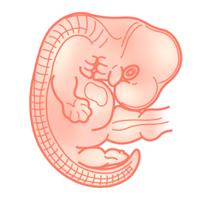 Календарь беременности: изображение плода на 9 неделе развития