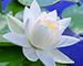 Блиц: белые цветы