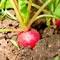 Посадка редиса в открытый грунт в апреле: плюсы и минусы