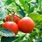 Высаживаем помидоры в теплицу: как подготовить рассаду и почву