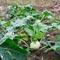 Как вырастить брокколи и цветную капусту: рассада, удобрения и другие секреты
