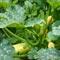 Тыквы и кабачки на компостной куче: никакого ухода до сбора урожая