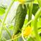 Чем болеют огурцы в теплице – и чем их опрыскать