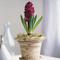 Выгонка луковичных растений в домашних условиях. Комнатное...