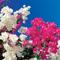 Бугенвиллея, или Славное имя прекрасной тропиканки