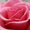 Игнасио Перес Артета: В России очень любят  цветы .