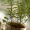 Базилик, розмарин, тимьян: выращивание из черенков. На грядках