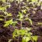 Выращивание рассады помидоров для теплицы: советы Ганичкиной