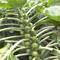 Цветная капуста и брокколи: выращивание и уход. Нет - жаре...