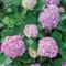 Гортензия: посадка и уход. 9 вопросов от любителей  цветов .