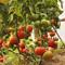 Помидоры в теплице: как бороться с фитофторой и другими болезнями томатов