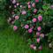6 типов  роз : описание и уход. Какие  розы  посадить в саду?