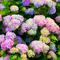 Как изменить цвет гортензии и лапчатки? Цветущие кустарники: посадка и уход