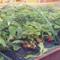Болезни и вредители клубники, крыжовника и смородины: чем обработать и подкормить в августе