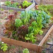 Геннадий Распопов: Как вырастить салат в открытом грунте? Лучшие сорта салата