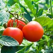 Геннадий Распопов: Высаживаем помидоры в теплицу: как подготовить рассаду и почву