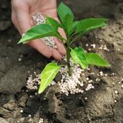 Не подкармливайте азотом деревья и кустарники в августе, иначе…