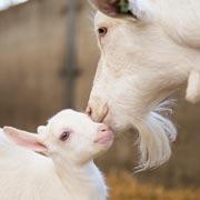 6 фактов о козьем молоке: питание ребёнка