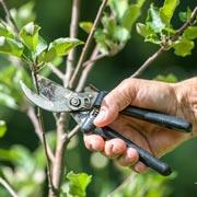 Как правильно обрезать яблоню осенью