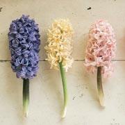 Эрин Бензакейн: Многолетние луковичные, посадка осенью: как правильно