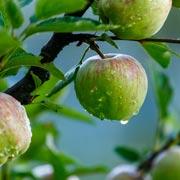 Геннадий Распопов: Чем обработать яблоню от парши осенью