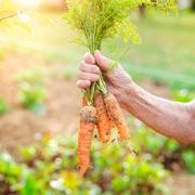 Галина Кизима: Как вырастить морковь и защитить от вредителей