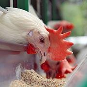 Как очистить курицу от антибиотиков - и еще 4 вопроса о курином мясе