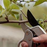 Можно ли обрезать яблоню летом – и как правильно?