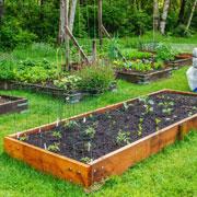 Удобрения – купить или вырастить? Люпин, горчица и другие сидераты после уборки урожая