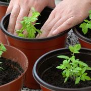 Когда сажать рассаду помидоров: семена, сроки, полив, удобрения