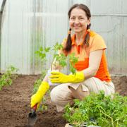 Галина Кизима: Рассада помидоров: когда высаживать в теплицу и как защитить от заморозков