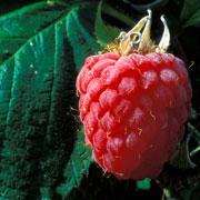 Малина: борьба с болезнями и вредителями. Чем обработать кусты с ягодами