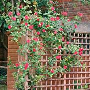 Вьющиеся растения для дизайна сада: клематисы, плетистые розы и другие