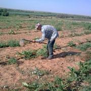 Астрахань 2015: жара и битва за урожай