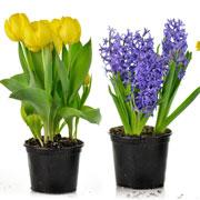 Гиацинт в горшке, тюльпаны и нарциссы. Почему не цветут и еще 10 вопросов