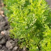 Посадка моркови: семена, удобрения, защита от болезней и вредителей