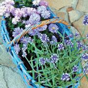 Базилик, тмин и еще 12 пряных трав: выращивание в открытом грунте