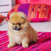 Маленькие собаки: корм, уход, содержание. Как защитить собаку от клещей?