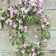 Клематисы: посадка и уход. Цветущий сад – с весны до осени