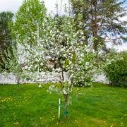 Как сажать яблоню весной: копаем посадочную яму и выбираем саженцы