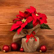 4625 Пуансеттия — Рождественская звезда. Комнатное растение рождественская звезда
