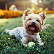 Почему собака скулит, грызет мебель и боится петард? 6 вопросов о поведении собаки