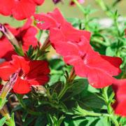 Александр Голод: Когда сеять на рассаду петунию, лобелию, бегонию