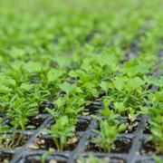 Как вырастить сельдерей из рассады