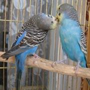 Волнистые попугайчики: или учить попугая говорить, или ждать птенцов