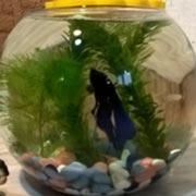 Какую аквариумную рыбку купить? Рыбка петушок, или бойцовая рыбка