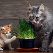 Какую траву посадить дома для кота