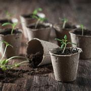 Как выращивать рассаду помидоров дома